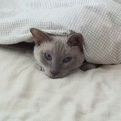 My kitty Orson hiding in the bed covers, happy to be home :)