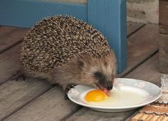 What does the hedgehog eat?
