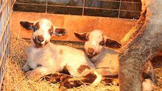 moorit cvm-romeldale lambs - 12 hours old