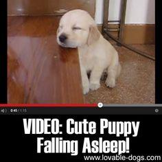 VIDEO: Cute Puppy Falling Asleep!►►http://lovable-dogs.com/video-cute-puppy-falling-asleep/?i=p