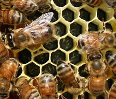 Basic Beekeeping: LESSON: 56 HOW TO TELL WHEN YOUR HIVE IS QUEENLESS