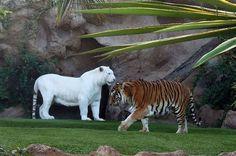 16. Tigre blanco.