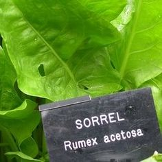 Sorrel- how to grow and use the sorrel herb