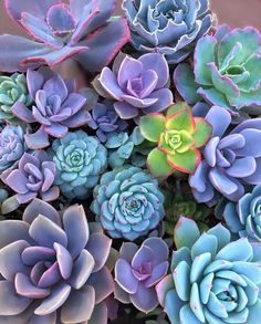 Here you can see some of the worlds most stunning purple succulents around. Explore all the different types of purple succulents out there! Succulent Gardening, Succulent Terrarium, Planting Succulents, Planting Flowers, Colorful Succulents, Pink Succulent, Succulent Arrangements, Cactus Y Suculentas, Plantar