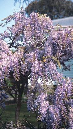 RNZIH - Plant Doctor - Pruning wisteria