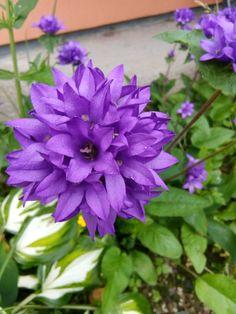 nasturtium//fleur comestible ☺15 graines de capucine jaune