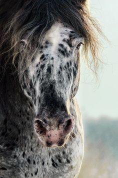 Appaloosa horse by Merel Bormans Photography Most Beautiful Horses, All The Pretty Horses, Cute Horses, Horse Love, Beautiful Creatures, Animals Beautiful, Appaloosa Horses, Andalusian Horse, Friesian Horse