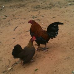 Bob the rooster and one of his ladies. My sweet Banty chickens!