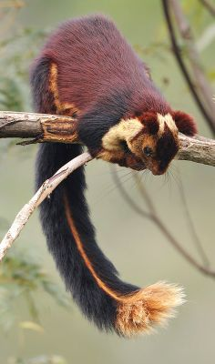 Malabar Giant Squirrel, twice the size of a regular squirrel and twice as pretty