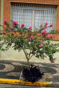 Lagerstroemia Indica, Outdoor Structures, Plants, Blog, Beautiful, Summer Flowers, White Flowers, About Plants, Ornamental Plants