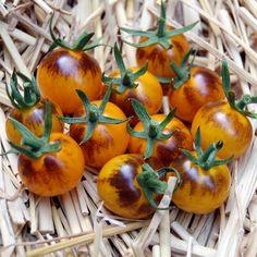 Blue Tomato INDIGO™Fireball'F1 ブルートマト・インディゴ・ファイヤーボール