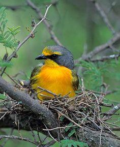 Orange-breasted Bush Shrike Birds 2, Birds Of Prey, Wild Birds, Love Birds, Beautiful Birds, South African Birds, Out Of Africa, Little Birds, Colorful Birds