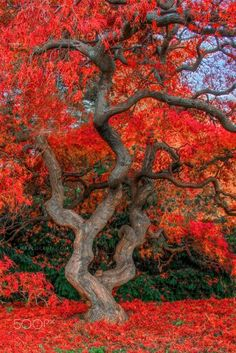 Red massive tree