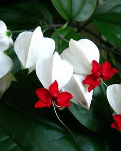 Bleeding Heart Vine (Clerodendrum thomsoniae)