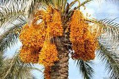 Dates Tree