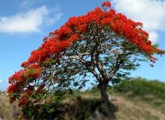 El Flamboyan this tree is viewed in Red, Yellow & Blue in Puerto Rico. Puerto Rico, Delonix Regia, Beautiful Flowers, Beautiful Places, Different Flowers, Concrete Jungle, Flowering Trees, Beautiful Islands, Tree Of Life