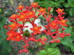 Jatropha podagrica - Buddha Belly, Bottleplant Shrub