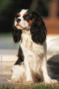 Cavalier King Charles Spaniel. My husband said I can have one for my 40th birthday. Only 8 years to wait!