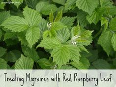 Red Raspberry Leaf for Migraines | Migraines are no fun. Up until a few years ago I'd never had one. I was thankful because I knew people wh...