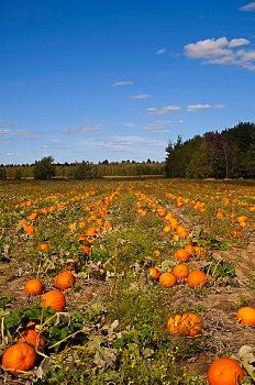 Pumpkins in the field at harvest time, Granby, Eastern Townships, Quebec / Canada
