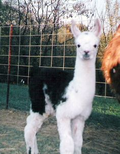 Baby Llama Quito Llamas, Baby Llama, Colorful Animals, Quito, Adorable Animals, Animals And Pets, Pets