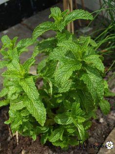 Mentha spicata var. crispa 'Moroccan' - Marrokaanse kruizemunt in de Digituin.
