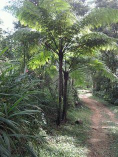Caminho dos palmitos, Mata Atlantica Brazil
