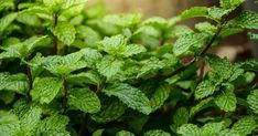Spearmint VS Peppermint Plants: Which Is Which? Shade Tolerant Plants, Shade Plants, Plants That Repel Flies, Peppermint Plants, Growing Mint, Strawberry Nutrition Facts, Strawberry Planters, Healing Herbs, Herbal Remedies