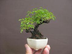 盆栽:フェイスブックに載せた写真より 4 |春嘉の盆栽工房