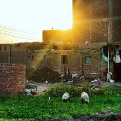 Some sheep eating  grass in one of the farms on the island Warraq in the background, Children playing during sunset on the island Warraq , Egypt Photo taken by  @Fayed El-Geziry