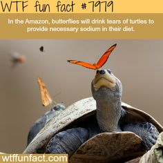 Butterflies drinking the tears of a turtle - WTF fun fact