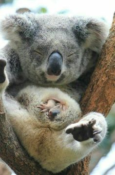**Baby koala peeking out of his mum's pouch, Taronga Zoo, Sydney. Cute Baby Animals, Animals And Pets, Funny Animals, Wild Animals, Beautiful Creatures, Animals Beautiful, Australian Animals, Tier Fotos, Animal Photography