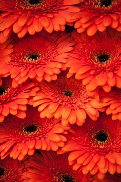 Orange Gerbera Amsterdam Flower Market Art Print by Jenny Rainbow. All prints are professionally printed, packaged, and shipped within 3 - 4 business days. All Flowers, Types Of Flowers, Fresh Flowers, Beautiful Flowers, Art Prints For Home, Fine Art Prints, Amsterdam Flower Market, Thing 1, Rainbow Art