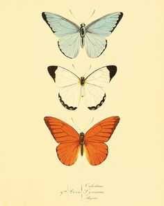 Orange Butterfly art print poster antique prints by AntiqueWallArt