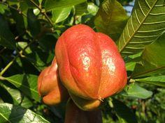 + Plantas: Sabor Tropical - Ackee