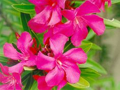 """Ever heard of the book and movie """"White Oleander? Well it was written around this poisonous plant. Oleander is one of the most poisonous of commonly grown garden plants, and can be very toxic if. Exotic Flowers, Tropical Flowers, Fresh Flowers, Pink Flowers, Beautiful Flowers, Cheap Caribbean Islands, Flower Catalogs, Poisonous Plants, Language Of Flowers"""