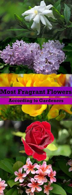 Do you know what're the most fragrant flowers? Maybe yes!  But our list is different, for this, we did a small survey in which we asked 3000+ gardeners about their most fragrant flowers.  It's a must read list if you love fragrant plants and flowers.
