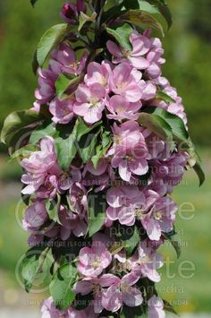 Malus Purple Spire Jefspire Crabapple - An outstanding compact, columnar Crabapple with purple-green foliage, good disease resistance, sparse pink flowers in spring and purple fruit in fall. Purple foliage colour is especially intense in fall.