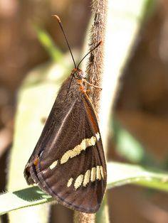 Geyeria hubneri (Rodrigo Conte) Tags: geyeria hubneri geyeriahubneri insect inseto insecta mariposa moth brasil brazil brasilia brasilemimagens fantasticnature castniidae castniinae castniini