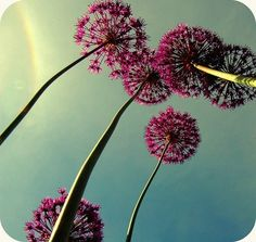 Alliums are among my most favorite flowers... LOVE.