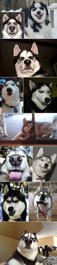 Various funny husky emotions. Makes me want a husky just for the funny faces by JustLinnea