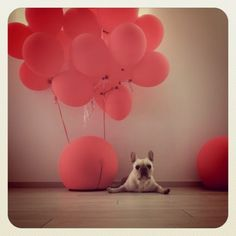 pink party frenchie