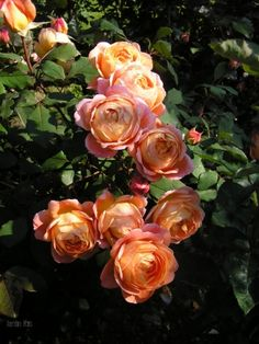 Lady Emma Hamilton - apricot rose with a strong fruit and citrus perfume