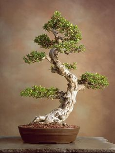bonsai - Google'da Ara