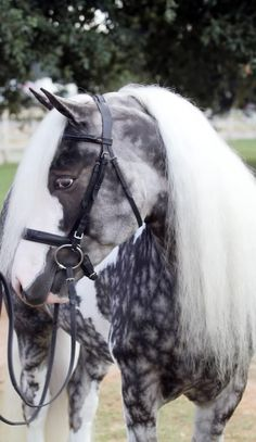 The Chocolate Silver Dapple Pinto - Lush locks and an extraordinarily bold coat make this horse a regular show-stopper, but perhaps most unique are the star-shaped dapples on his front end.