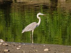 Great Blue Heron in Holly Pond