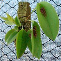 Unusual Plants, Rare Plants, Exotic Plants, Rare Orchids, Rare Flowers, Mini Orquideas, Orquideas Cymbidium, Cactus, Miniature Orchids
