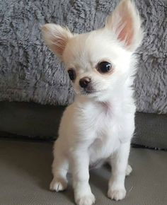 Beautiful all white chihuahua - chihuahua - Puppies Cute Dogs And Puppies, Baby Puppies, Pet Dogs, Pets, Doggies, White Chihuahua, Chihuahua Love, Teacup Chihuahua Puppies, Drawing Simple