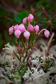 Bog Rosemary, native to Alaska