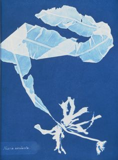 Alaria esculenta. Cyanotype by Anna Atkins,From 1843 to 1854, Atkins created cyanotypes of more than 400 kinds of algae as part of a work called Photographs of British Algae: Cyanotype Impressions. What's more, she made numerous photographs of each specimen so as to produce multiple copies of her book.  - Courtesy of the Spencer Collection, The New York Public Library-